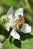 Bee-0010.jpg (vorneo) Tags: bee classinsecta honeybee kingdomanimalia europeanhoneybee familyapidae orderhymenoptera wild phylumarthropoda westernhoneybee speciesamellifera binomialnameapismellifera genusapis