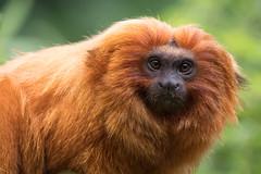 DSC00633 (sylviagreve) Tags: 2017 apenheul goldenliontamarin apeldoorn gelderland netherlands nl