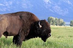 Papa standing guard (John's Love of Nature) Tags: bisobbison johnkelley buffalo
