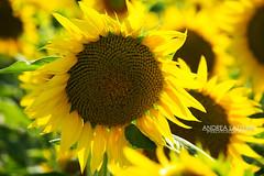 Pulica - Girasole (AndRealfi) Tags: canon700d canonefefs sunflower girasole toscana tuscany collina hill pulica montelupo firenze