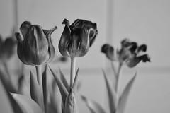 Last hours (Rodrigo Marfan) Tags: flower flowers blackandwhite pretoebranco bw pb indoors nature stillife nocolor 50mm 50mm18g d750 nikon leaves tulips tulipas dry dryflowers textures details detalhes brasilia cerrado brasil brazil depthoffield bokeh bokehlicious lines
