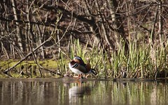 fullsizeoutput_d69 (timpic_) Tags: mandarinand mandarinduck duck aixgalericulata birds nature wildlife outdoor linköping sweden canon naturephotography wildlifephotography