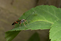 Ichneumon wasp #3 (Lord V) Tags: macro bug insect wasp ichneumon