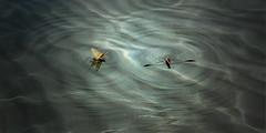 Incontri al buio (Zz manipulation) Tags: art ambrosioni zzmanipulation natura zanzara farfalla nigth notte incontri buio water acqua