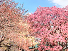 Shinjuku splendor (Digidoc2 - BACK) Tags: cherryblossom cherrytrees tokyo japan cherry delicate blossom tree pink beautiful flowers
