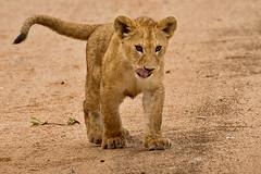 Lions of Maasai Kopjes 430 (Grete Howard) Tags: bestsafarioperator bestsafaricompany africa africansafari africanbush africananimals whichsafaricompany whichsafarioperator tanzania serengeti animals animalsofafrica animalphotos lions lioncubs maasaikopjes kopjes kopje