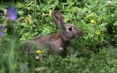 Rabbit      (Oryctolagus cuniculus) (nick.linda) Tags: rabbit oryctolaguscuniculus wildandfree lowbarnsnaturereserve durhamwildlifetrust ukwildlifetrusts canon7dmkii sigma150600c