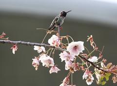 Anna's Hummingbird early morning (Paul Cottis) Tags: bird hummingbird annas oakbay victoria paulcottis may 2017 20