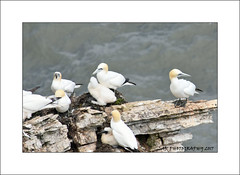 Gannets on a ledge (prendergasttony) Tags: bassanus morus gannet flight cliff bempton rspb bird avian pov dof nikon d7200 wings birdwatching outdoor nature wild roosting nesting yorkshire england young fledging feet webbed nest ledge elements sea seabird chick july summer