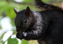 Black Mama Squirrel is back! (DaPuglet) Tags: squirrel squirrels blacksquirrel black fur animal animals nature wildlife ontario canada mamal coth5 coth sunrays5