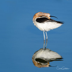 Ecstasy II (craig goettsch - out shooting) Tags: americanavocetrecurvirostraamericana hendersonbirdviewingpreserve2017 avian nature reflection wildlife blue water nikon d500