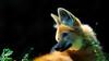Mähnenwolf (dieter-und-marion sempf) Tags: mähnenwolf tier tiere raubtier säugetier natur hundartig tiergartennürnberg