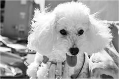 1, 2, 3.... Ruby! (andaradagio) Tags: andaradagio bianconero bw canon dog cane miglioramicodelluomo nadiadagaro