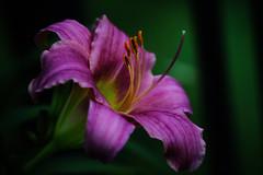 lovely day lily (dorameulman) Tags: macro flower daylily lily color inmybackyard garden dorameulman gastonia northcarolina summer june canon canon7dmark11 sigma105mmf28exdgmacroos