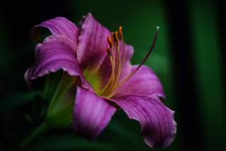 lovely day lily