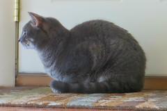 Millie 11 July 2017 5650Ri 4x6 (edgarandron - Busy!) Tags: cat cats kitty kitties cute feline tabby tabbies millie graytabby