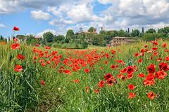 Lucignano d'Arbia (MaOrI1563) Tags: lucignanodarbia valdarbia papaveri grano panorama paesaggio ambiente toscana siena tuscany territorio ambienteeterritorio