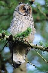Long eared owl (bilska.anna) Tags: longearedowl owl annabilska bird birds birdofprey birdporn birdsofprey natureuk nature wildkifeuk ukwildlife uk ukwildlifeuk uknatureuk flickr flickrwildlife flickrbirds canon aves avian