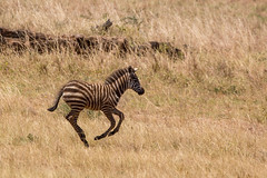Life is just so exciting (Ring a Ding Ding) Tags: africa apoka equusquaggaburchellii kidepo uganda action foal nature plainszebra remote safari wildlife dodoth northernregion ngc