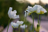 Before, During, and After (mclcbooks) Tags: flower flowers floral poppies poppy denverbotanicgardens colorado spring