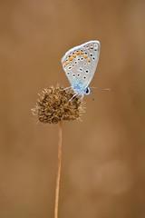 Polyommatus icarus (jotneb) Tags: insectos natureza butterfly borboletas vidaselvagem lepidoptera lycaenidae arlivre animais