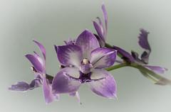 Zygonisia cynosure 'Blue Birds' (glomacphotos) Tags: zygonisia cynosurebluebirds orchid