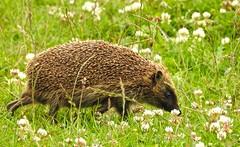 Hedgehog (Erinaceidae) (R.Miller1979) Tags: hedgehog mammal nature wildlife northumberland england grassland meadow habitat coast countryside green brown