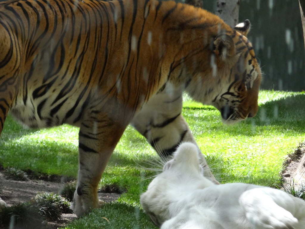 The World\'s Best Photos of mirage and tiger - Flickr Hive Mind