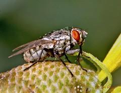 Fly - Flesh Sarcophagid 1b (CANS) (edit) (MO FunGuy) Tags: flesh fly sarcophagid missouri