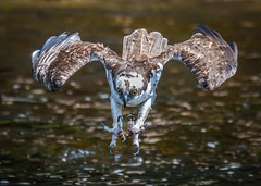 Focused (Vic Zigmont) Tags: osprey birdinflight raptor ospreyinflight ospreytalons