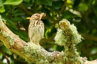 Tree Pipit - Anthus trivialis