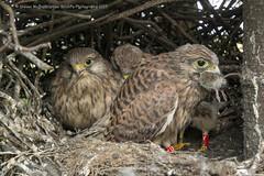 kestrel Chicks (Steven Mcgrath (Glesgastef)) Tags: kestrel chicks nest nesting bird prey raptor glasgow robroyston wild wildlife nature scotland uk