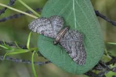 Haworth's Pug. (Eupithecia haworthiata) (Garry Barlow) Tags: haworthspug eupitheciahaworthiata pugmoth
