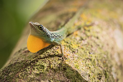 Tough Guy (tommiaarnio) Tags: yellow natuer sunshine tree animal green little wildlife outdoors lizard wild rainforest tropical trunk threatening dewlap throat the caribbean no person france martinique sea lesser antilles french anolis roquet martiniques anole habitation ceron céron tommi aarnio savannah