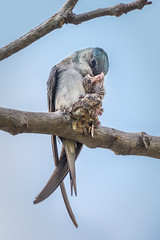 Mother feeding chick [Explored] (BP Chua) Tags: animal swift treeswift bird nature wild wildlife nikon d800e 600mm telephoto chick mother feed nest