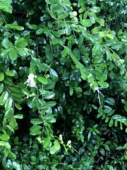 More of pinwheel tree. Is it a capparis? Yes (jungle mama) Tags: capparis caper cappariscynophallophora white shrub tree whiteflower biscayneparkfl cynophallacapparisflexuosa
