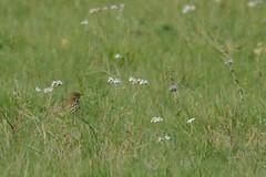 HNS_0209 Graspieper : Pitpit farlouse : Anthus pratensis : Wiesenpieper : Meadow Pipit