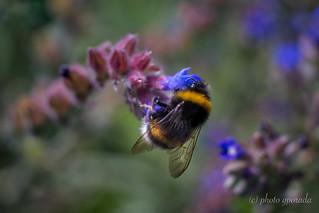 Climbing Bumblebee ...