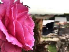 Rose 🌹 aux nuits de Fourvière (freddylyon69) Tags: view flowers fleurs rose muséegalloromain fourvière lyon