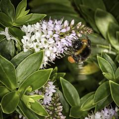 Bumblebee (TrotterFechan) Tags: bumblebee flower hebe