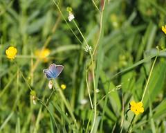 Bläuling (michaelmueller410) Tags: schmetterling butterfly papillon grass small buttercup insect insekt nature natur wald wiese forest glade