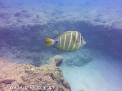 Hanauma Bay 8 (venusnep) Tags: hanaumabay hanauma bay underwater tropicalfish tropical fish iphone watershot watershotpro hawaii snorkeling travel travelphotography may 2018