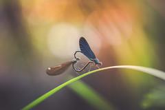 Heart (der_peste) Tags: dragonfly dragonflywheel heart dragonflyheart damselfly dragonflies insect bokeh color demoiselle beautifuldemoiselle nature sonya7m2 dof depthoffield shallowdepthoffield