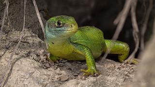 Männchen der Westlichen Smaragdeidechse (Lacerta bilineata) am Kaiserstuhl