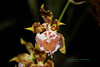 Odontoglossum x strobelorum 6352 (A. Romanko) Tags: odontoglossum strobelorum