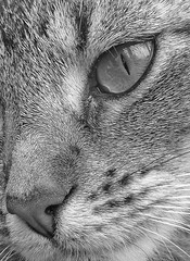 Cat Crop (ArtGordon1) Tags: blackwhite blackandwhite cat feline fur animal pet walthamstow london england uk davegordon davidgordon daveartgordon davidagordon daveagordon artgordon1 cateyes