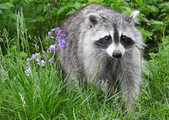 Raccoon (Sara Turner Photography) Tags: wildlife nature outdoor outside mammal animal bandit trashpanda