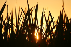 The sun through the reeds (dylan583) Tags: saskatchewan sonydslra700 sonyalpha sonya700 tamronsp45670300usd tamron telelphotolens telephoto sunset backlit silhouette slough plant reeds cattail