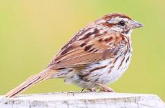 song sparrow at Seed Savers Exchange IA 854A3892 (lreis_naturalist) Tags: song sparrow seed savers exchange winneshiek county iowa larry reis