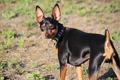 Robin (quato2015) Tags: minipin minpin ミニピン pinscher miniature miniaturepinscher dog 犬